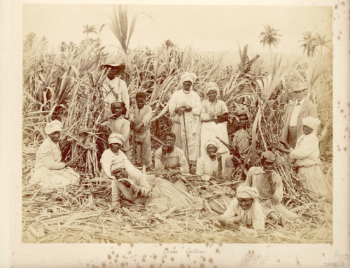 Slaves In a Cane field